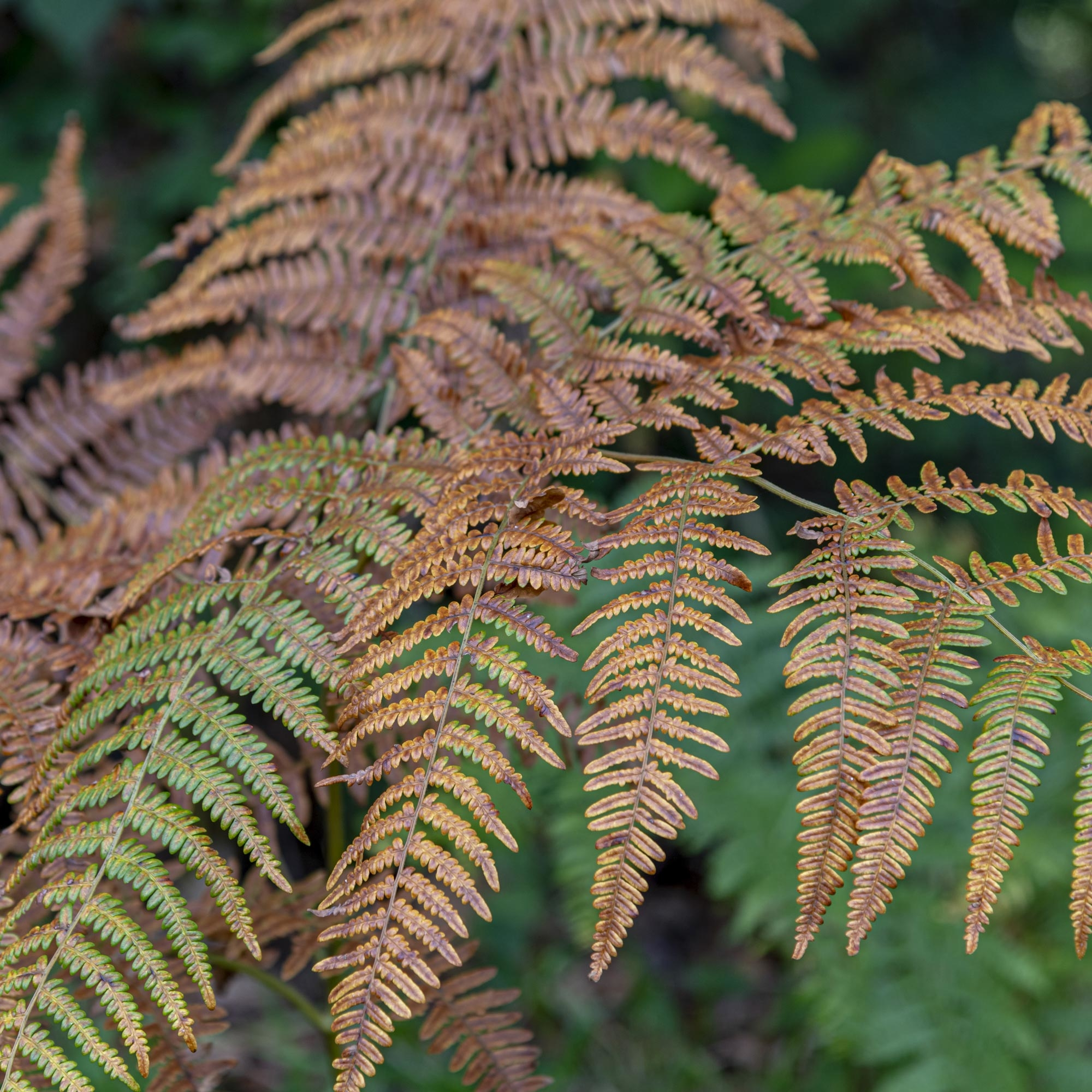 Patterns - Bracken fern leaf, the elements are similar to the whole leaf