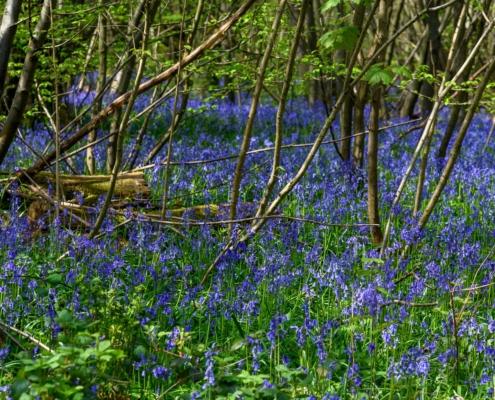 Bluebell Wood in Trosley Country Park near Gravesend, Kent 2000w