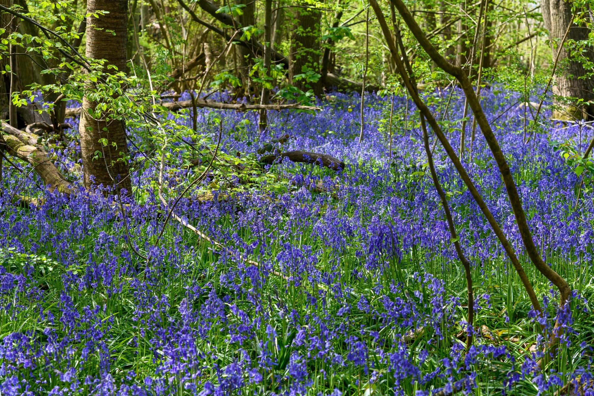Bluebell Wood in Trosley Country Park near Gravesend, Kent